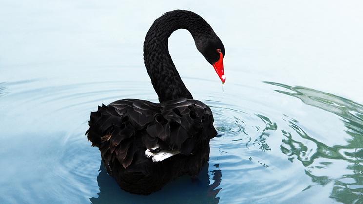 Image result for cisnes negro
